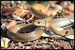 Our friendly breakfast Olive Grass Snake