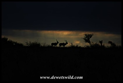 Just a sliver of light at the back of these kudus