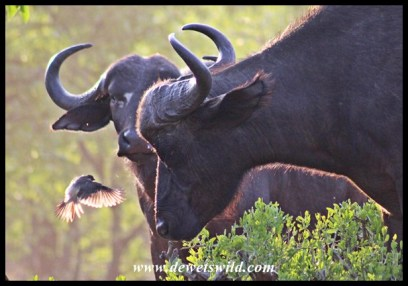 Buffalo and oxpecker in discussion