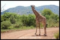 Young giraffe