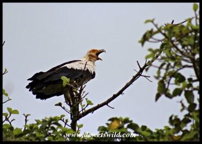 Palm-Nut Vulture, Umlalazi Nature Reserve, March 2016