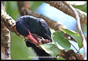 Red-billed Wood-Hoopoe