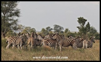 Plains zebra are plentiful along the roads south of Lower Sabie
