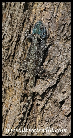 Well camouflaged agama