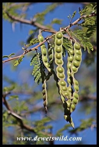 Acacia seedpods
