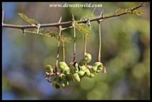 Sickle-bush seedpods
