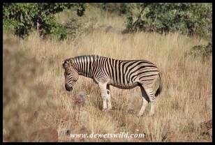 Plains zebra stallion