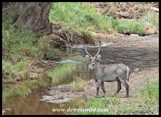 Waterbuck at the Mapilini stream just north of Nkumbe