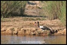 Saddle-billed Stork fishing at Nkuhlu