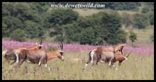 Blesbok herd on the move
