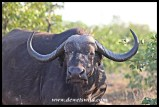 Beautiful old cow