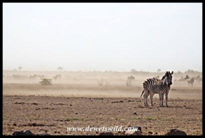 Huge congregation of zebra at Mooiplaas