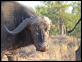 Old buffalo cow losing more than her hair