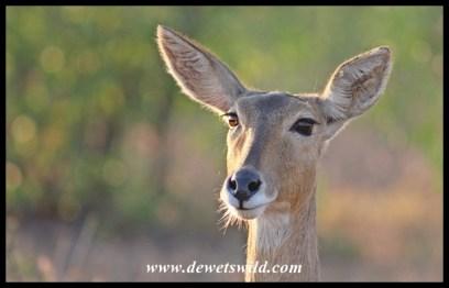 Reedbuck are often encountered along the Nshawu Marsh