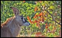 Roan Antelope calf near Mooiplaas in the Kruger Park