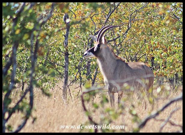 Roan Antelope cow near Mooiplaas in Kruger Park