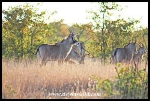 Roan Antelope herd along the Nshawu marsh in Kruger