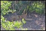 Lion cub out in the open along the Nwanetsi River