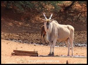 Imposing Eland bull