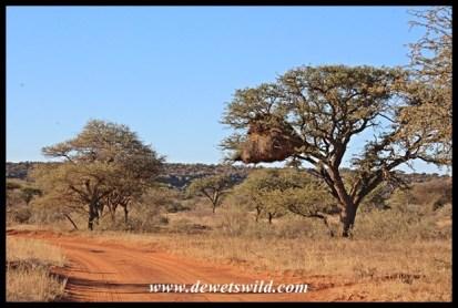 Mokala road and sociable weaver nest