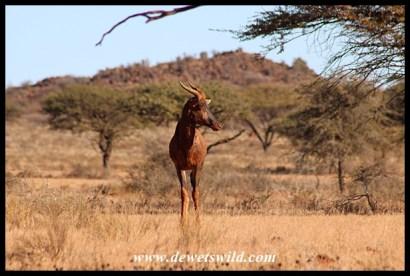 Tsessebe in Mokala National Park