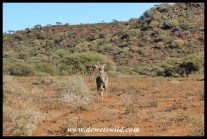 Kudu in a vast landscape