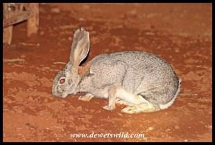 Cape Hare at Haak-en-Steek
