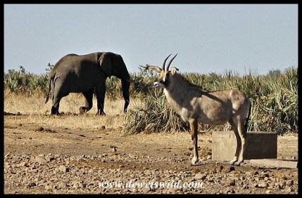 Roan Antelope in Northern Kruger
