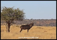 Roan Antelope in Mokala National Park