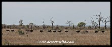Flock of ostrich on the move
