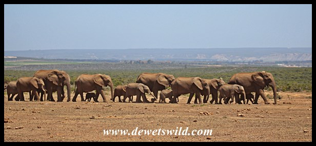 Another herd of elephants arriving at Hapoor