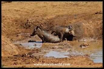 Warthog mudbath