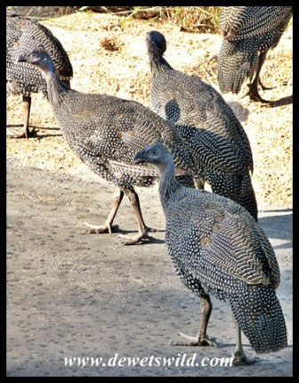 Helmeted Guineafowl sub-adults