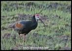 Southern Bald Ibis