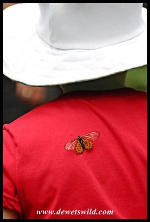 Garden Acraea butterfly catching a piggy-back ride with Joubert