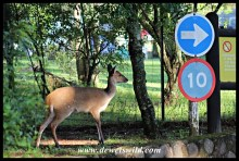 Bushbuck are commonly encountered along the trails
