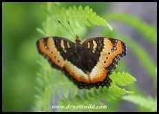 Unidentified species of butterfly