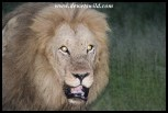 Sand River Lion