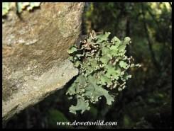 Lichen on a rockface