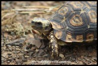 Tortoises have right of way on uMkhuze's roads