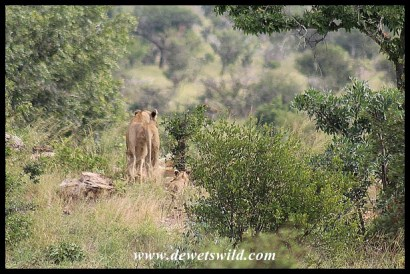 Pride of lion just north of Tshokwane