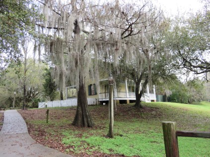 Bald Cypress Tree hung with Spanish Moss