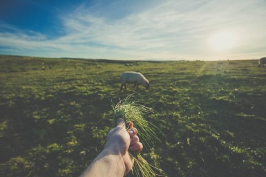 feeding sheep with grass