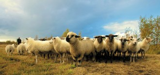 flock of sheep in field