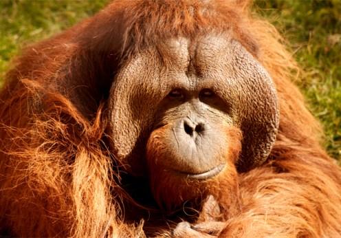 Orangután_male