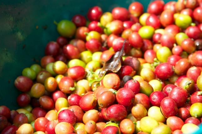 Rote und grüne Kaffekirschen