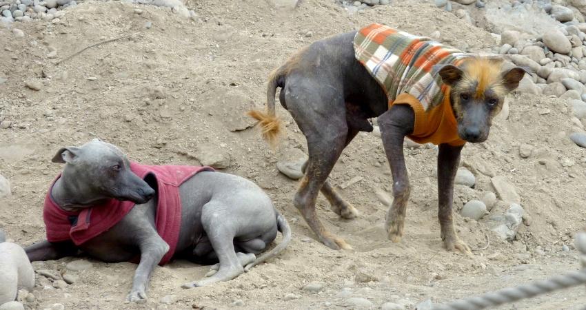 Peruanische Nackthunde in den Außenbezirken von Lima. Quelle: Wikimedia Commons