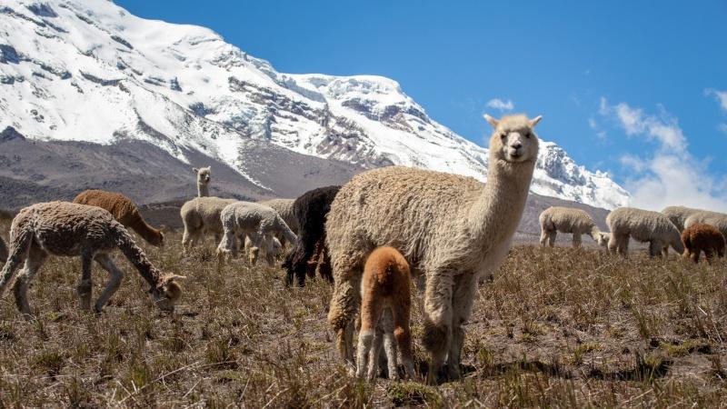 """Die Bezeichnung """"Babyalpaka"""" bezieht sich auf die Qualität der Alpakafaser! Die Wolle von Jungtieren von ~ 1,5 Jahren zählt bis zur 3. Schur auch meist zu dieser Qualitätsklasse."""
