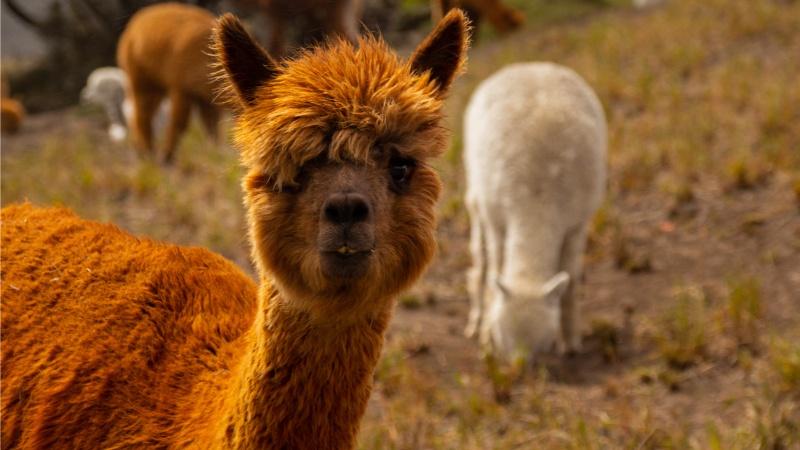 Die Alpakas retteten sowohl die Gemeinden als auch die Natur in Ecuador, als der Wollpreis zu sinken und der Paramo sich in eine Wüste zu verwandeln begann.