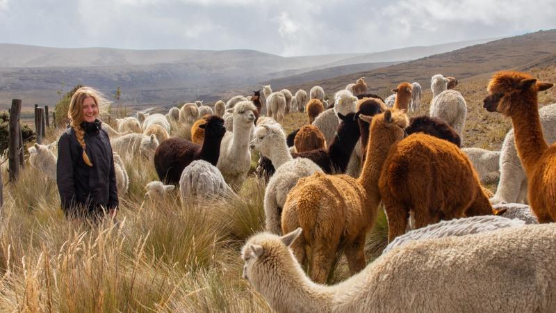 Bunte Flecken vor atemberaubender Kulisse: In den Hochebenen der Anden sieht man viele große Alpakaherden.